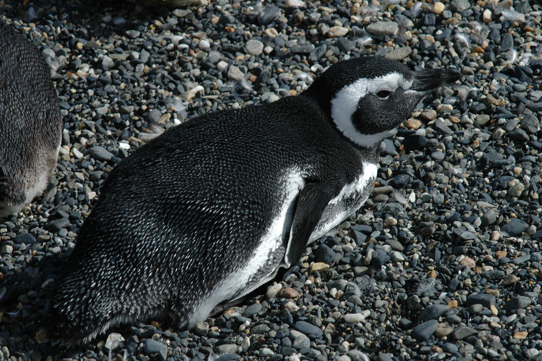 11 Pingüino