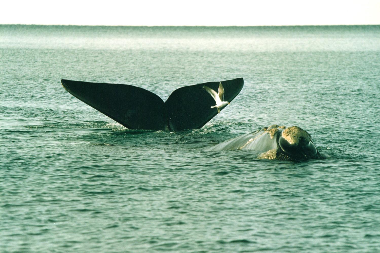 4 ballena